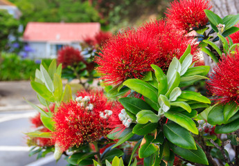 red pohutukawa flowers, location - Wellington, North Island, New Zealand