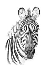 Portrait of zebra drawn by hand in pencil