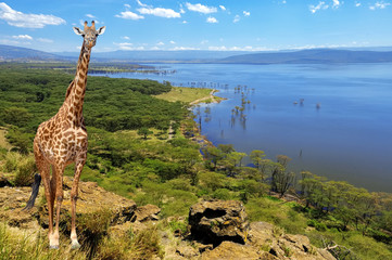 Close giraffe in National park of Kenya