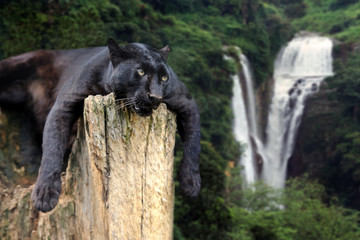 Black leopard on waterfall background