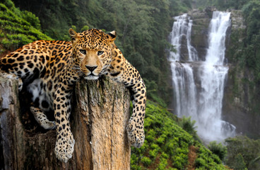 Wall Mural - Leopard on waterfall background
