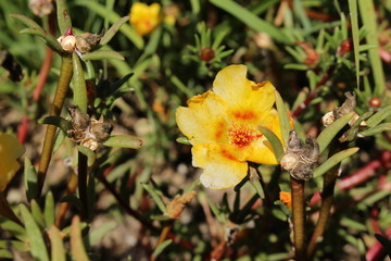 """Yellow and orange """"Mexican Rose"""" flower (or Rose Moss, Eleven o'clock, Sun Rose, Rock Rose, Moss-rose Purslane) in St. Gallen, Switzerland. Its Latin name is Portulaca Grandiflora, native to Brazil."""