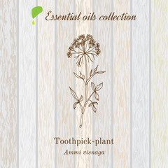 Pure essential oil collection, toothpeak-plant, ammi visnaga. Wooden texture background