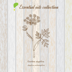 Pure essential oil collection, angelica. Wooden texture background