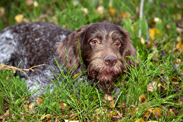 portrait dog breed Drathaar  in autumn forest