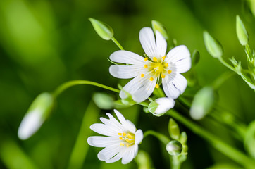 Forest plant stellate flowers in spring with white flowers