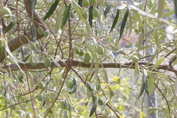 Olive su di un albero