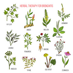 Herbal therapy for bronchitis ivy, ginger, mullein, agrimony, licorice, fenugreek, ginseng, ephedra, plantain, angelica, thyme, coltsfoot, echinacea