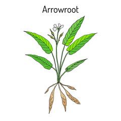West Indian arrowroot Maranta arundinacea , or obedience plant, araru, ararao