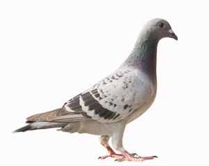 side view of pigeon bird isolated white background