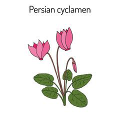 Cyclamen cyclamen persicum , flowering plant