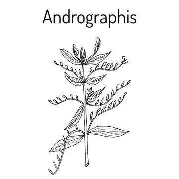 Andrographis paniculata, or king of bitters, ayurvedic herb