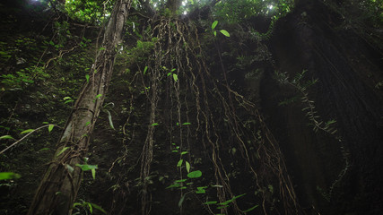 The review of suspended lianas in the jungle of the island of Bali. Lianas hanging from the tree in tropical forest. Bali, Indonesia. On the island of Bali huge lianas which create