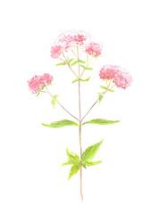 Wild oregano plant isolated on white background. Botanical hand drawn watercolor illustration of oregano blooming plant.