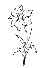 Narcissus flower isolated on white. Vector black and white line art illustration.