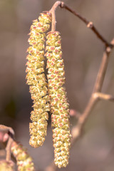 Highly allergenic pollen from the hazel catkins in early spring, closeup