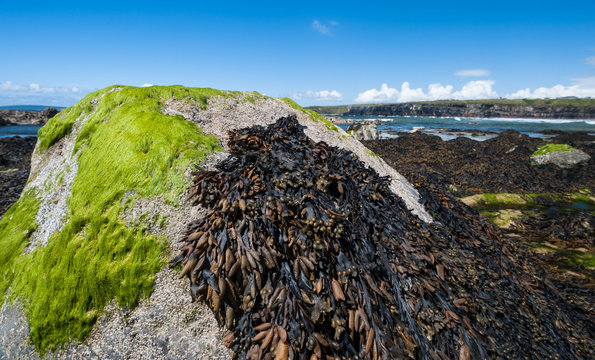 Seaweed and seagrasses growing on costal rock