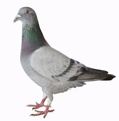 close up full body of sport racing pigeon bird isolated white background
