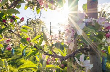 Obstblüte im Frühling
