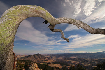 An old twisted tree reaches outward over the foothills of Colorado's front range.