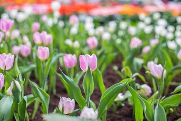 Red tulip orange