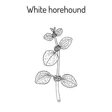 White horehound Marrubium vulgare , medicinal plant