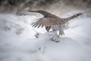 Wild goshawk with prey