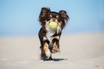 brown chihuahua dog running with a tennis ball