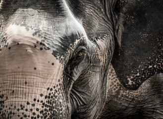 Portrait of elephant from Thailand