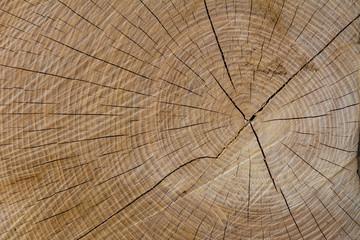 Baum Querschnitt in der Holzstruktur