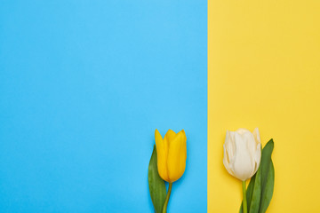 Couple of two different spring tulips isolated