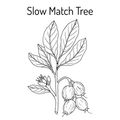 Slow Match Tree Careya arborea , medicinal plant.