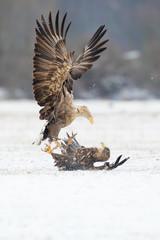 Seeadler kämpfen im Schnee