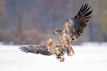 Kämpfende Seeadler