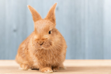 Beautiful red-haired rabbit sitting on a wooden board on a blue background