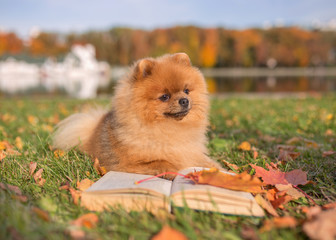 Clever dog with a book. Pomeranian dog outdoor