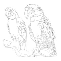 amazing parrots line art continuous line drawing