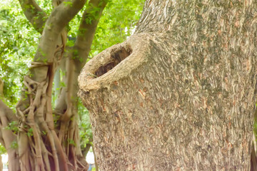 The hollow tree is home of the birds and squirrels.