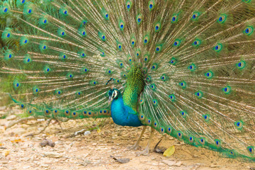 Indian Peacock (Pavo cristatus) with feathers out in Kuala Lumpur bird park, Malaysia
