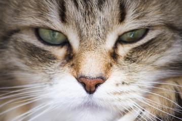 pretty brown cat of siberian breed in the garden, feline face