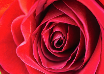 Vibrant fresh close up isolated beautiful macro pink orange red rose. Selective focus.