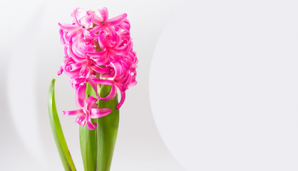 hyacinth flower on white