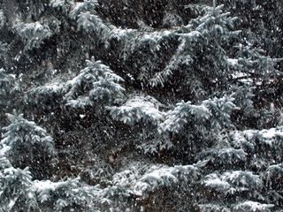 SNOWY PINE, Black and White