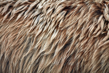 Brown bear (Ursus arctos) fur texture. Wild life animal Wall mural
