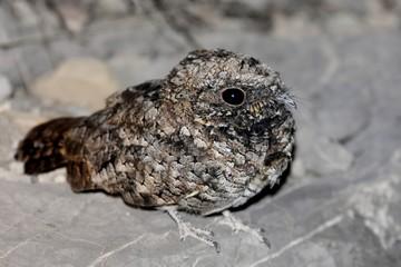Fotoväggar - Common Poorwill Phalaenoptilus nuttallii
