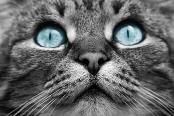 Das Gesicht einer Katze in schwarz-weiß mit blauen Augen Wall mural