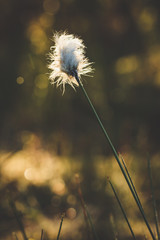 Cotton grass and blurry background
