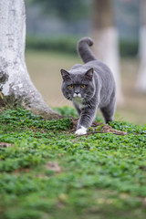 The gray British cat, outdoor grass
