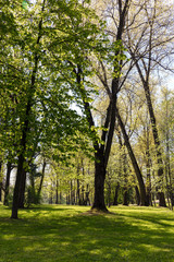 beautiful green trees in park. natural landscape in spring.
