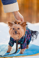 Beautiful Yorkshire terrier Sits on snow in overalls, winter, smile sunset Cynologist